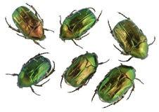 Smaragdgroene gouden geplaatste insecten Royalty-vrije Stock Afbeelding