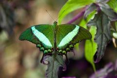 Smaragdgroene vlinder Swallowtail Royalty-vrije Stock Afbeeldingen
