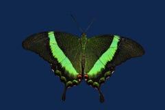 Smaragdgroene Vlinder Swallowtail Stock Afbeeldingen