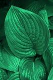 Smaragdhabsucht Hosta verlässt morgens Tau lizenzfreie stockfotos