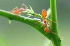 Smaragdina rojo de Oecophylla de la hormiga Imágenes de archivo libres de regalías