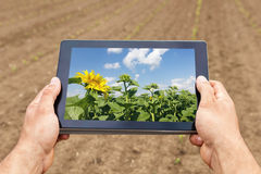 Smart agriculture. Farmer using tablet sunflower planting. Moder Stock Images