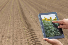 Smart agriculture. Farmer using tablet sunflower planting. Moder Royalty Free Stock Images