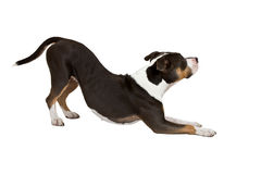 Smart american staffordshire terrier Royalty Free Stock Photo