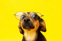 Free Smart And Disciplined Dog With Glasses On The Nose Royalty Free Stock Photos - 172938588