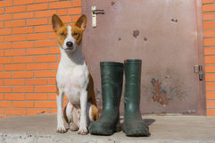 Smart basenji doesn't like the idea of being dirty after spring outdoor strolls Stock Image