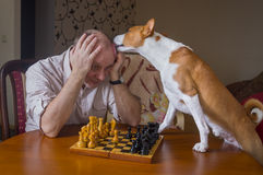 Smart basenji dog desperately trying to calm down its opponent. Licking him during chess family tournament stock photography