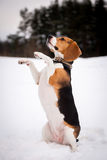 Smart beagle dog outdoor Stock Image