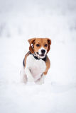 Smart beagle dog outdoor Stock Photo