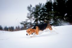 Smart beagle dog outdoor Royalty Free Stock Images
