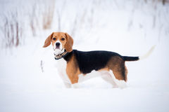 Smart beagle dog outdoor Royalty Free Stock Photo