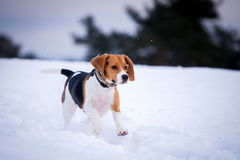 Smart beagle dog outdoor Stock Photos