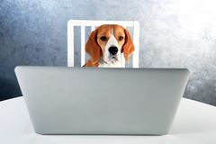 Smart beagle dog working with laptop. Dog behind white laptop looking at camera royalty free stock photography