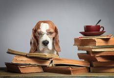Smart beagle in glasses with old books . royalty free stock images