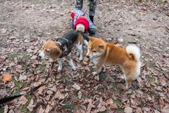 Smart Beagle puppy and obedient young dog breed Shiba for a walk in the city Park. Moscow,Russia royalty free stock photos