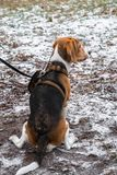 Smart and obedient Beagle puppy for a walk in the city Park at the beginning of winter. A smart beagle puppy on a walk in the city Park. Tricolor Beagle puppy is stock photo