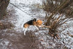 Smart and obedient Beagle puppy for a walk in the city Park at the beginning of winter. A smart beagle puppy on a walk in the city Park. Tricolor Beagle puppy is stock image