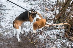 Smart and obedient Beagle puppy for a walk in the city Park at the beginning of winter. A smart beagle puppy on a walk in the city Park. Tricolor Beagle puppy is stock photography