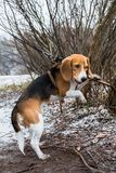 Smart and obedient Beagle puppy for a walk in the city Park at the beginning of winter. A smart beagle puppy on a walk in the city Park. Tricolor Beagle puppy is royalty free stock photo