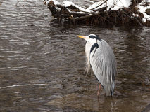 Smart beautiful gray heron Stock Photos