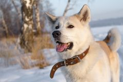 Smart beautiful thoroughbred red dog Japanese Akita Inu in a leather collar is in the winter in the forest among the snow. Smart beautiful thoroughbred red dog royalty free stock photography