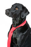 Smart Black Labrador in Red Tie Stock Image