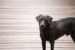 A smart black street dog is looking at the camera. The dog is standing on wooden hanging bridge. Royalty Free Stock Image
