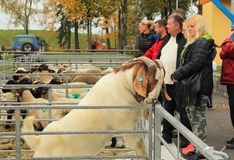 Smart Boer goat. Clever male Boer goat trying to open its enclosure at the exhibition of farm animals in Vendryne, Czech Republic, October 14, 2017 stock photos