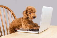 Smart brown poodle dog typing and reading laptop computer on table Stock Image