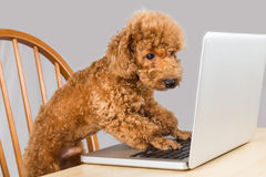Smart brown poodle dog typing and reading laptop computer on table Stock Photos