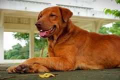 Smart brun hund som är bra och arkivfoto