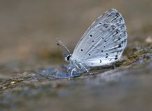 A smart butterfly. This butterfly is called Celastrina argiolus Stock Images
