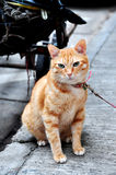 Smart Cat. Golden hair smart cat in green eyes Stock Photography
