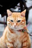 Smart Cat. Golden hair smart cat in green eyes Royalty Free Stock Photos