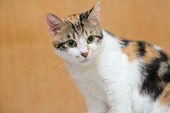 Smart cat Royalty Free Stock Images