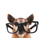 A smart chihuahua Stock Image