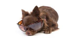 Smart chihuahua wearing sun glasses Royalty Free Stock Photo