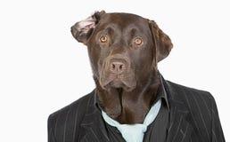 Smart Chocolate Labrador in Pinstripe Jacket. Isolated Shot of a Smart Chocolate Labrador in Pinstripe Jacket stock image