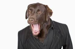 Smart Chocolate Labrador in Pinstripe Jacket Royalty Free Stock Photo