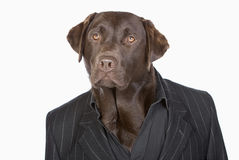 Smart Chocolate Labrador in Pinstripe Jacket Stock Image