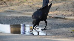 Smart crow makes the food soft before eating stock video