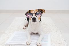 Smart cute dog lying with open book in eyeglasses. Smart cute jack russell terrier dog lying with open book in eyeglasses and looking at camera. Back to school stock image