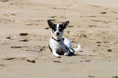 Smart, cute and sad small dog on the beach Royalty Free Stock Photo