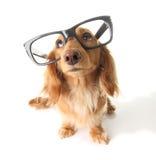 Smart dachshund stock image