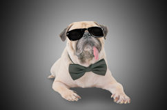 Smart detective cute pug dog with sunglasses and suit Bow Tie. Stock Photos