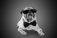 Smart detective cute pug dog with sunglasses and suit Bow Tie Royalty Free Stock Photo