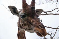 Smart djur giraff som ser mig Fotografering för Bildbyråer