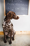 Smart dog Stock Photography