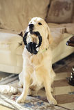 Smart dog. Retriever dog holding earphones in its mouth Stock Photo