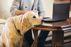 Smart dog. Retriever dog resting on a computer table Royalty Free Stock Image